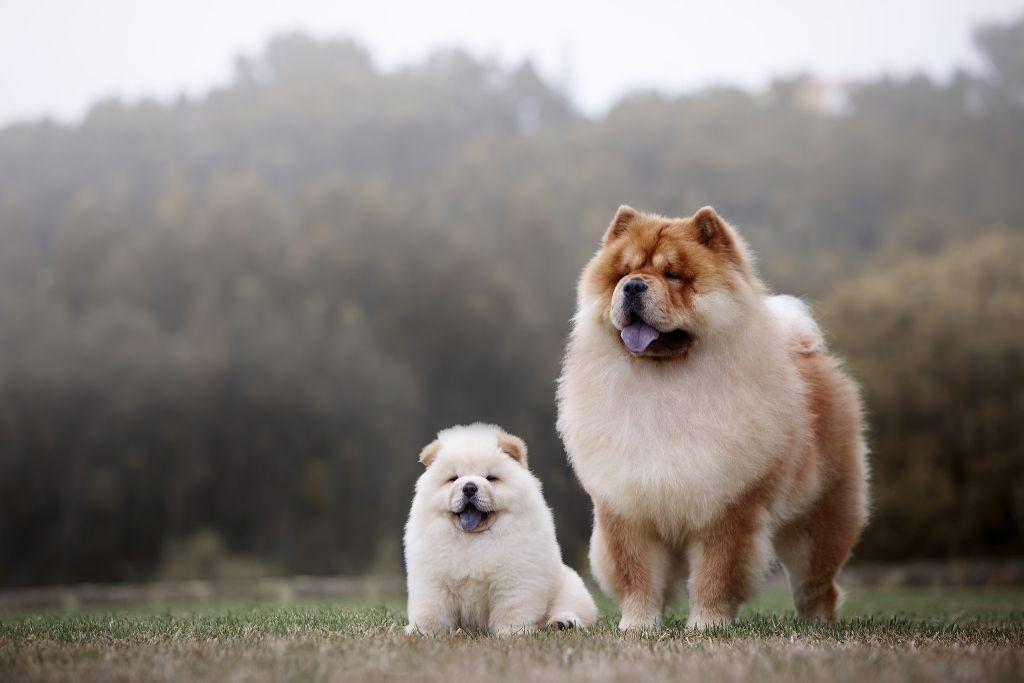 3 Ras Anjing Dari Negara China Yang Cocok Untuk Kamu Jadikan Teman atau Hewan Peliharaan