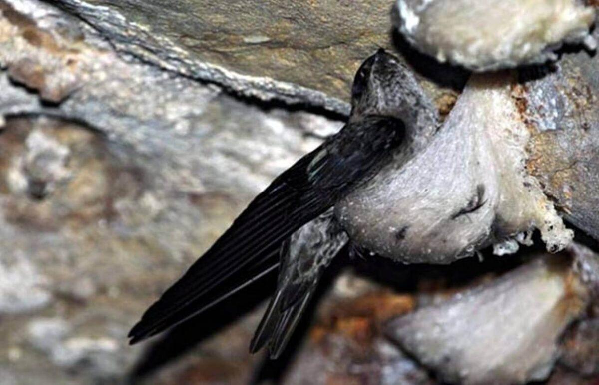 Sarang Burung Walet, Benda Berharga Penuh Manfaat